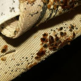 Bagian tempat tidur yang dipenuhi bedbugs