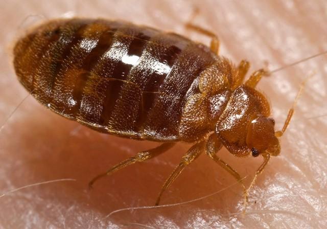 Bedbugs dewasa
