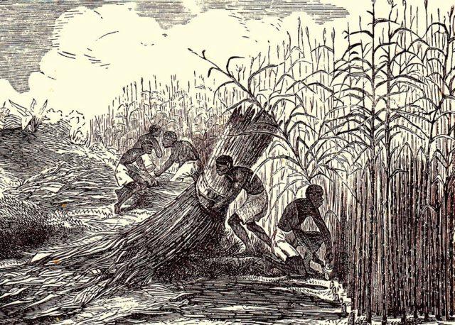 Suikerriet-plantage van het Cultuurstelsel_1